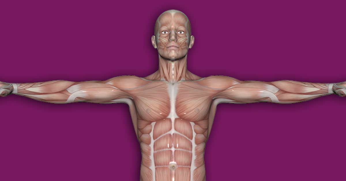 Interactive Human Muscles Template Upper Part