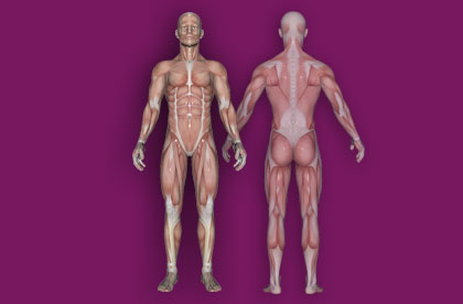 Interactive Human Muscular System - Front / Back