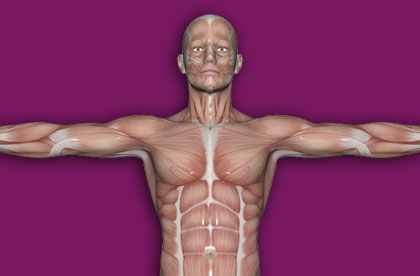 Interactive Human Muscles - Upper Part